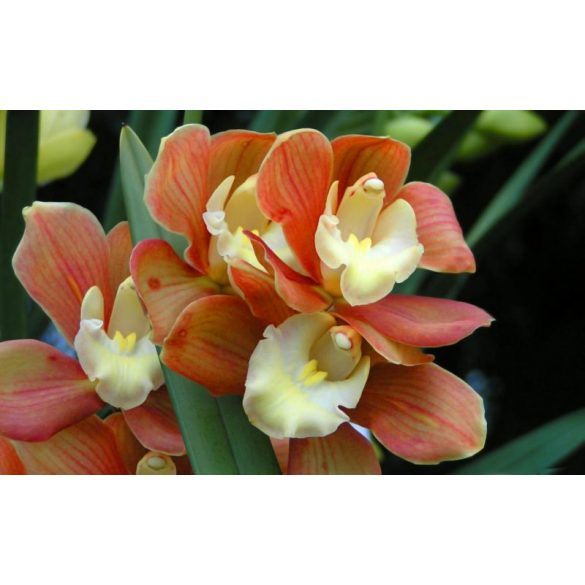 Virágcserép  ERIA orchidea kaspó