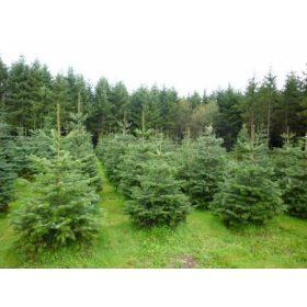 Karácsonyfa Vágott fenyő