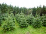 Karácsonyfa Nagykereskedés