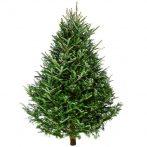 Karácsonyfa Nordmann fenyő