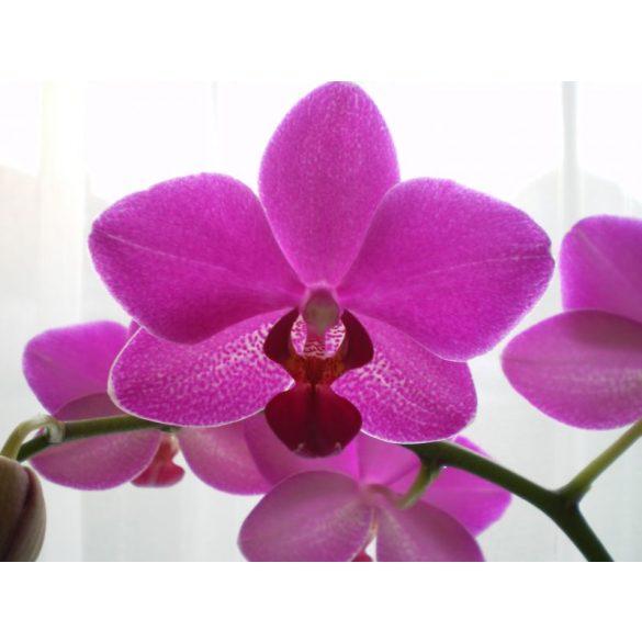 Sandis  Orchidea tápoldat 0.5 literes