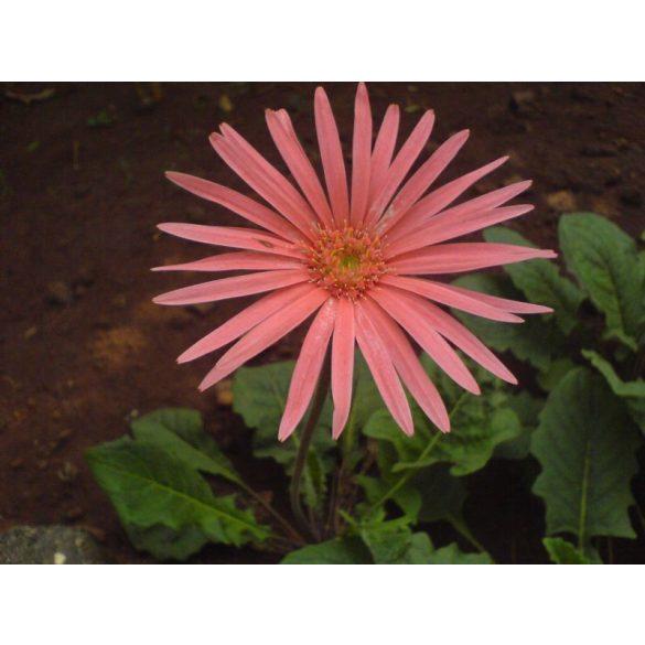 GARRI Általános virágföld 50 Literes