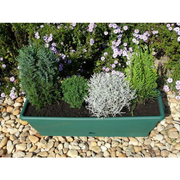 """Örökzöld """"Calocephalus browni az ezüst növény"""""""